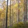 写真04 丸山林道のカラマツ林