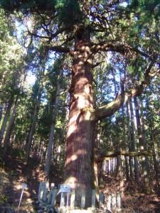 写真10 氷室神社の大杉