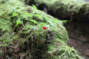 タケシマランの赤い実(h)