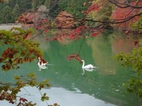 3伊奈ケ湖の白鳥