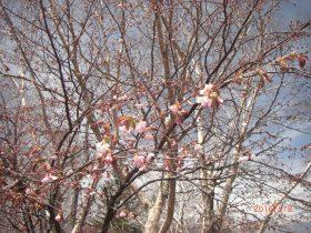 裸山の山桜
